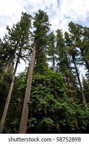 Forest, giant Douglas fir trees