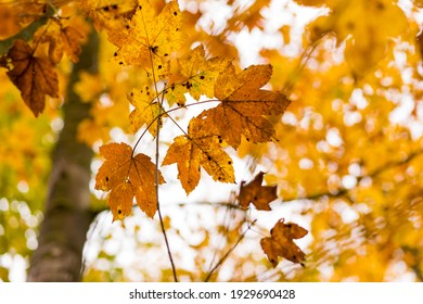 Forest with golden yellow leaves in autumn