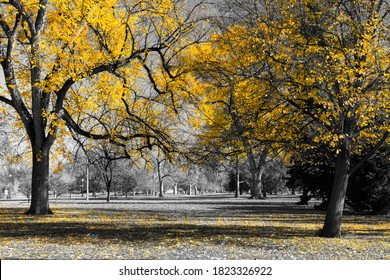 Forest of golden yellow trees with color leaves covering the ground in a black and white fall landscape scene