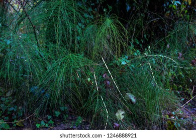 forest green bright horsetail