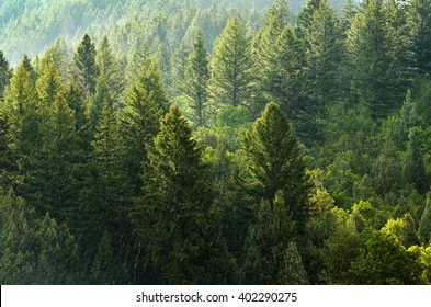 Forest of green pine trees on mountainside with late afternoon sunlight