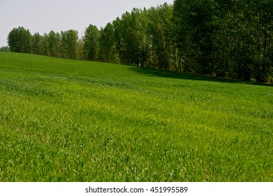 forest and green wheat field in countryside