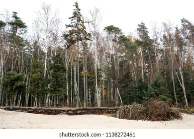Forest grows on sandy soil, the coastline near the Baltic Sea