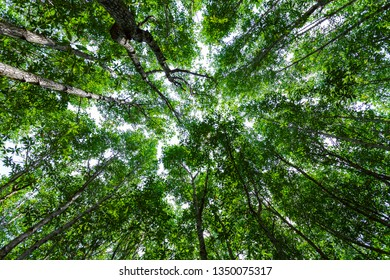 Forest growth trees. nature green mangrove forest backgrounds.