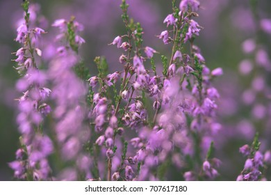 Forest Heather Flowers And Blossoms In Spring Blooming In Natural