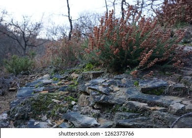 Forest heathers on a rock.