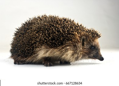 Forest hedgehog on a white background