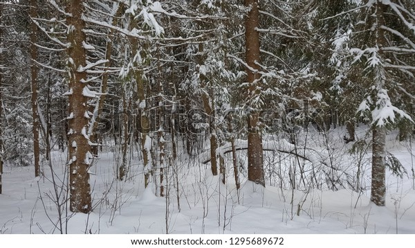 Forest in January at Okovtsy, Russia