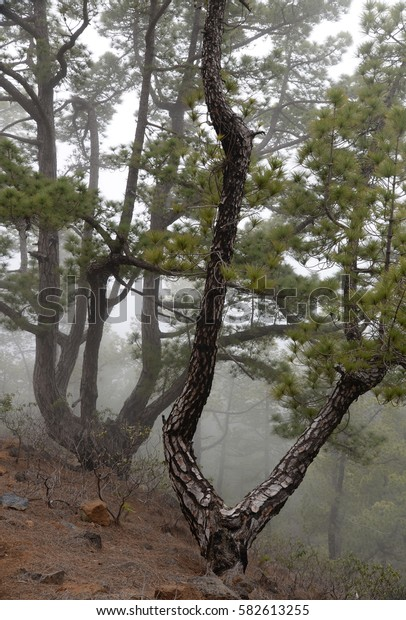 Forest at La Palma