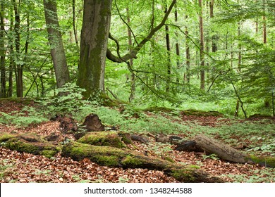 Forest landscape with beeches and dead wood. Alders in the background. Nature reserve Wohldorfer Wald in Hamburg, Germany.
