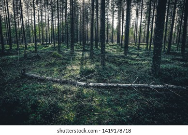 Forest landscape from Finnish Lapland