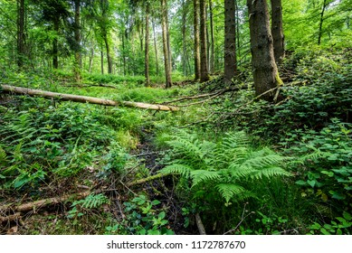 Forest landscape. Green forest and fern, Germany