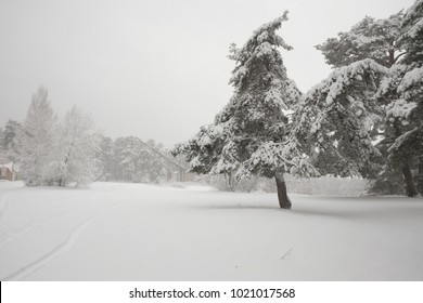 Forest landscape with lots of snow. Old pine trees in the foreground.
