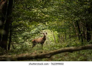 Forest landscape with majestic European red deer buck in the middle