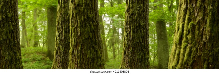Forest landscape with mossy trees