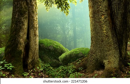 Forest landscape with old massive trees and mossy stones