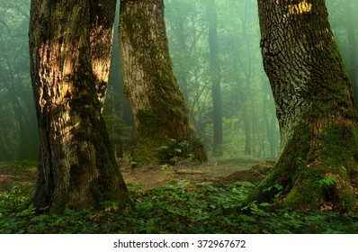 Forest landscape with old mossy trees