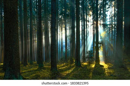 FOREST LANDSCAPE WITH SPRUCE TREES, GREEN GRASS, MOSS AND SUN RAYS PENETRATING THROUGH THE TRUNKS, MAGICAL NATURE BACKGROUND