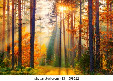 Forest landscape. Forest trees. Sunny fall forest with sun rays. Fall background. Autumn nature.