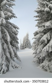 Forest landscape in the winter. Snowy fir trees. Overcast day. Carpathians, Ukraine, Europe