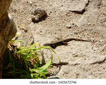 Forest lizard or meadow lizard, pontic lizard (Darevskia pontica, with an older name Darevskia praticola pontica, Lacerta praticola pontica) is a lizard-lizard