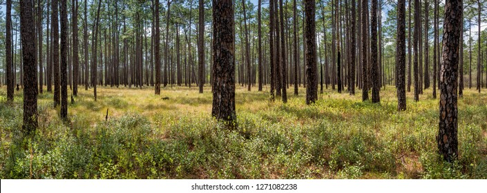 Forest of longleaf pine (Pinus palustris) in The Nature Conservancy's Green Swamp Preserve in North Carolina in early April. Controlled burns keep the forest open, as happens naturally.
