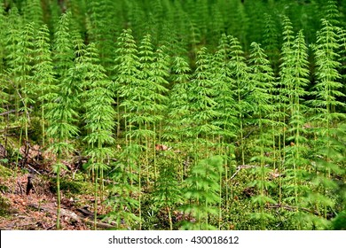 Forest made from group of wood horsetails
