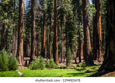 Forest with many sequoias trees in Sequoia Park, California, USA