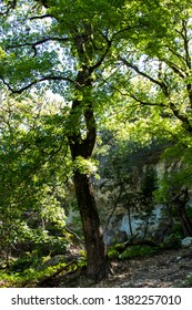 Forest of maple trees against a limestone cliff at Lost Maples State Natural Area in the Texas Hill Country