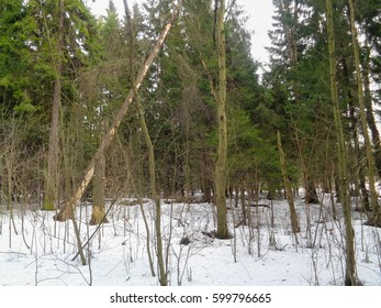 Forest in March. Wild nature of North Russia