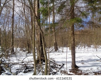Forest and melting snow. Russia