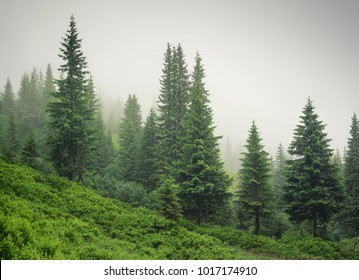 Forest in the mist as a background. Beautiful natural landscape in the summer time