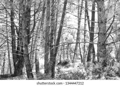 A forest in monochrome in Cruz de Juanar in Spain