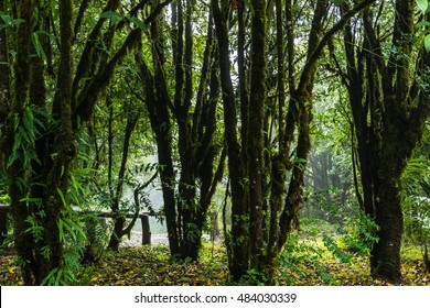 Forest with morning light fog.