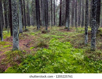 Forest moss in Karelia autumn woods landscape. Green moss on larcht ree forest scene. Wilderness forest moss trees background. Karelia forest trees moss view