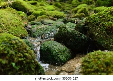Forest of moss  World Natural Heritage Yakushima