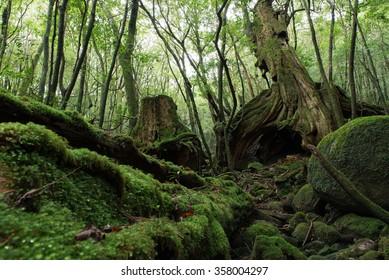 Forest of moss Yakushima