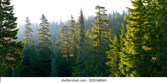 Forest at Mount Rainier National Park at sunrise, Washington State, USA