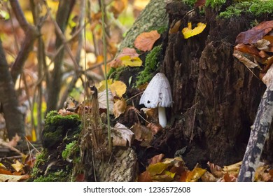 Forest mushrooms in autumn leaves