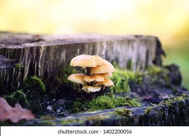 Forest mushrooms on tree stumpwith green moss. Honey agaric mushrrom.