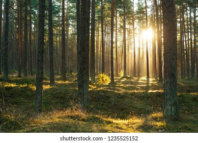 Forest of Northern Estonia with winter sunlight