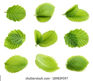 Forest nuts hazelnuts leaves isolated on white background.