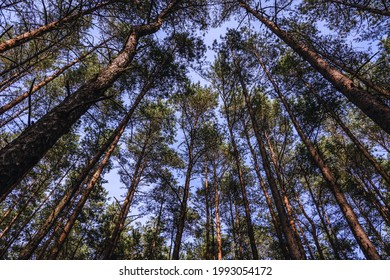 forest on Sobieszewo Island, part of Gdansk city over Gdansk Bay in the Baltic Sea, Poland
