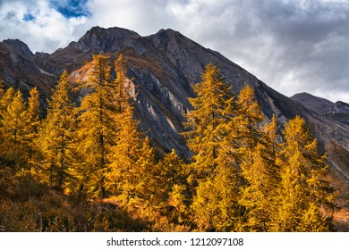 Forest of orange larch trees illuminated by the Sun with mountains peak and cloudy sky in background