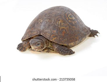 forest painted turtle isolated on white background