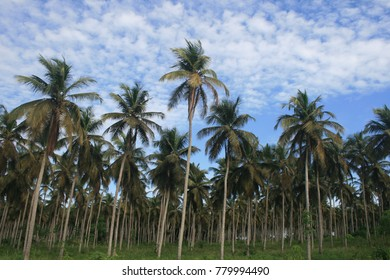 Forest of palm trees near jacqueville in ivory coast. Tall silhouettes of the trees with a blue sky in background.