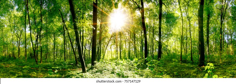 Forest panorama with green trees and bright sun