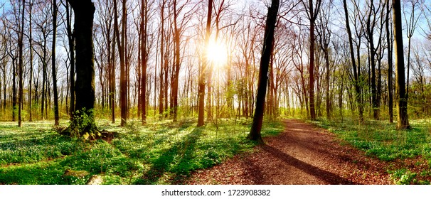 Forest panorama in spring with lots of little white flowers, a hiking trail and bright sun shining through the trees