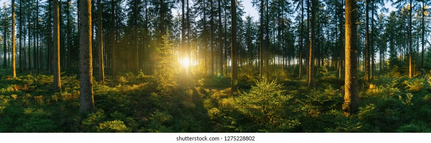 Forest panorama with sunsetlight