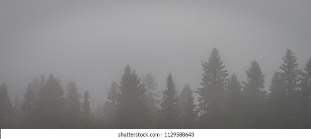 Forest park view. The tops of coniferous trees in the fog.
